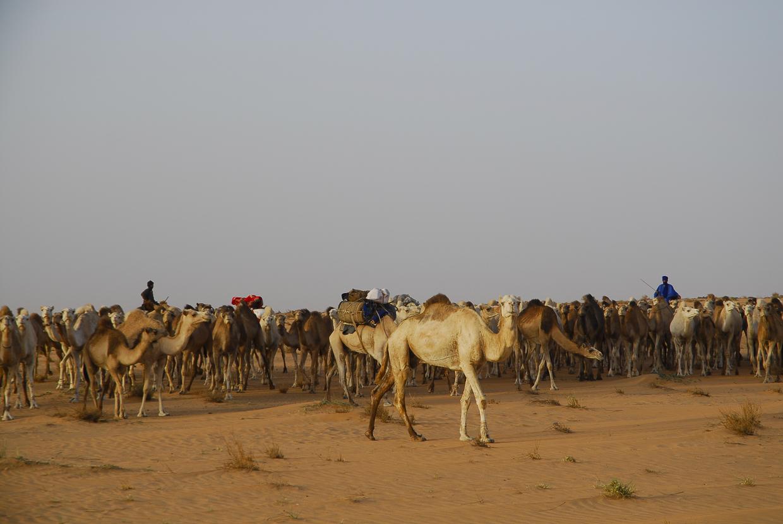 Mauritânia cáfila de dromedários a norte de Akjoujt