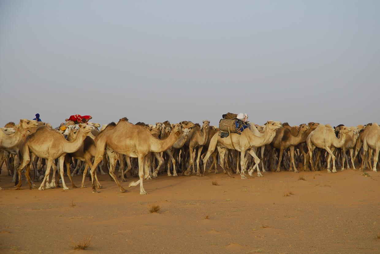 Mauritânia cáfila de dromedários nos arredores de Akjoujt