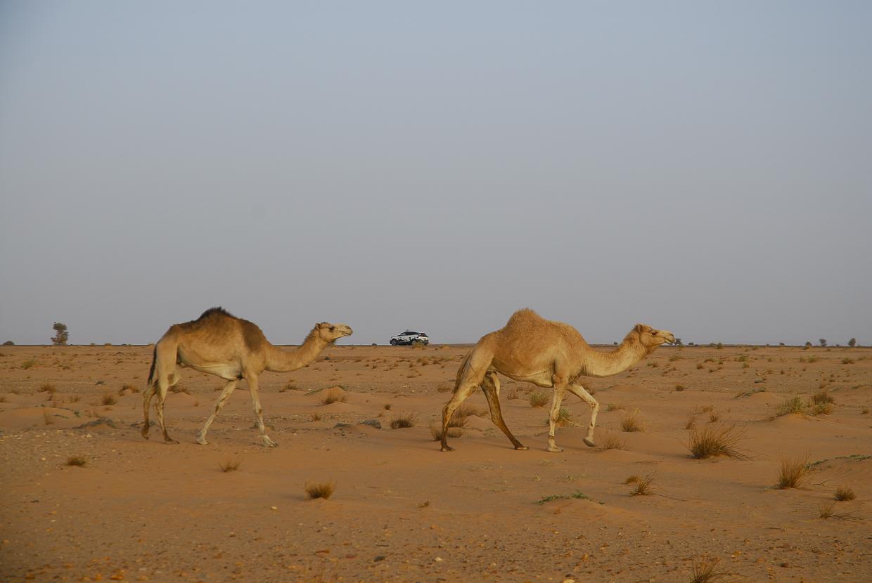 Mauritânia dois dromedários um leão e 120 cavalos