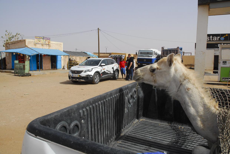 Mauritânia dromedário vai atrás Akjoujt